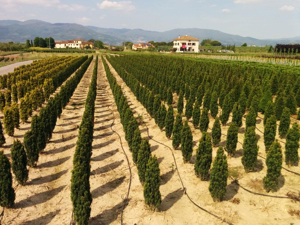 Vendita piante pistoia vivai mgf for Piante da frutto pistoia