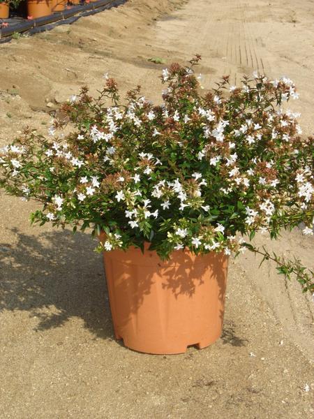 Catalogo Piante E Fiori : Abelia grandiflora prostrata