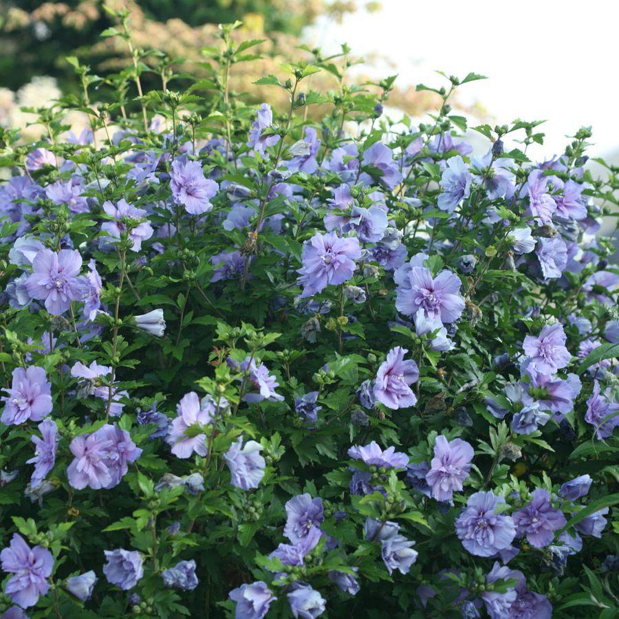 Hibiscus Syriacus Blue Chiffon Notwoodthree