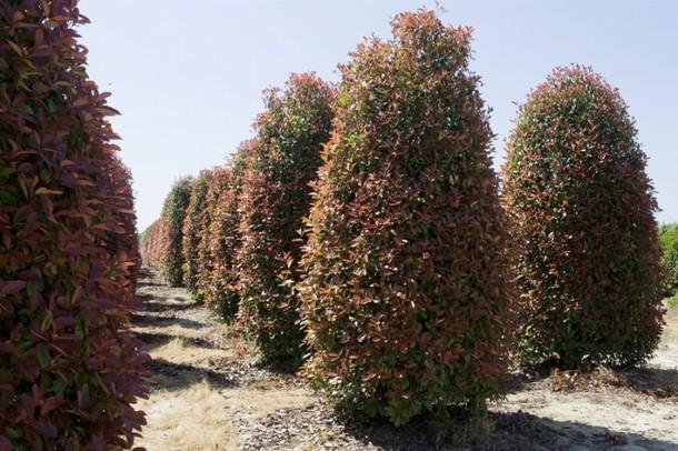 Photinia - Photinia serrulata red robin ...