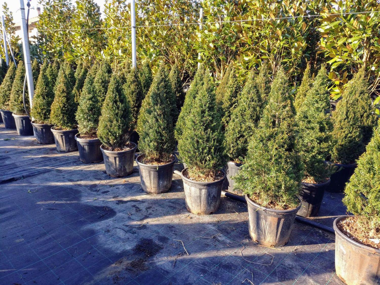 Alberi da giardino acero liquidambar for Vendita piante da giardino